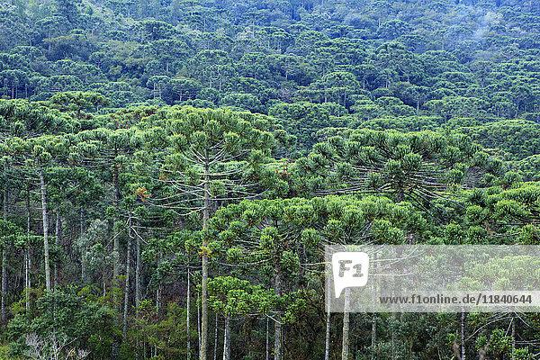 A forest of Parana (Araucaria) pines (Araucaria angustifolia) in the mountains near Sao Paulo  Brazil  South America