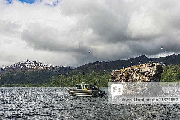 Tourists on a sightseeing boat photograph gulls on a rookery in Kukak Bay  Katmai National Park & Preserve  Southwest Alaska  USA
