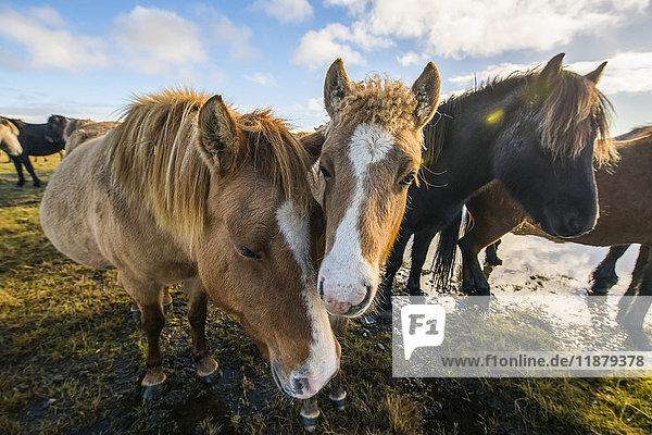 'Icelandic horses; South Coast  Iceland'