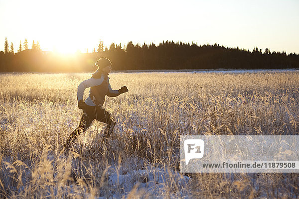 'Running across a field with snow and long grasses in winter with the glow of the golden sunlight; Homer  Alaska  United States of America'