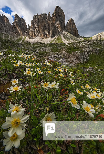 'Wildflowers in the Dolomite mountains of Italy as dusk approaches; Cortina  Italy'