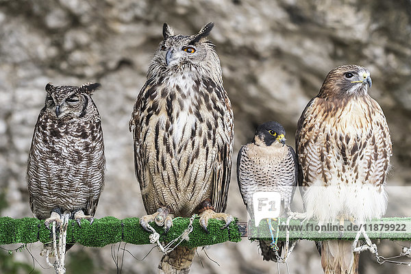 'Birds of prey in captivity,  perched in a row on a post; Cadiz,  Andalusia,  Spain'