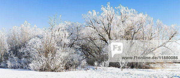 'Frost covered trees in winter against a blue sky with snow on the ground; Alberta  Canada'