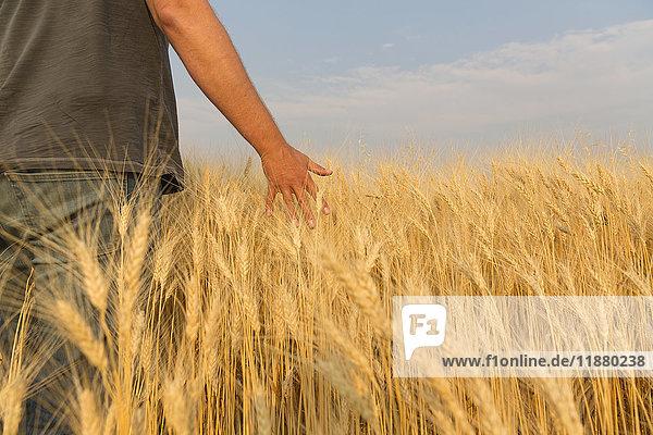 'Man walking through wheat field running his hand through the wheat; Val Marie  Saskatchewan  Canada'