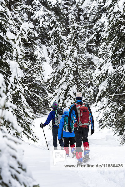 'A group snowshoeing along a trail in a snow covered forest  East of Field; British Columbia  Canada '