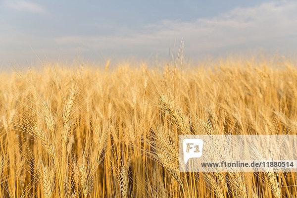 'Wheat in a field under a blue sky with cloud; Val Marie  Saskatchewan  Canada'