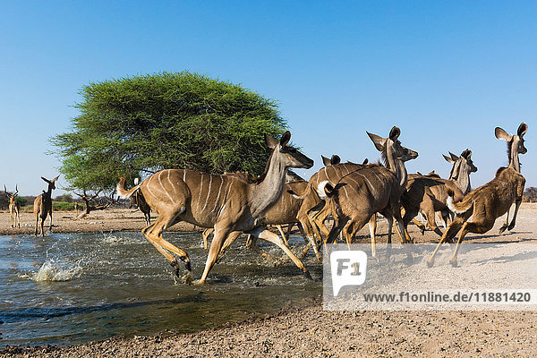Greater kudus (Tragelaphus strepsiceros)  running from waterhole  Kalahari  Botswana  Africa