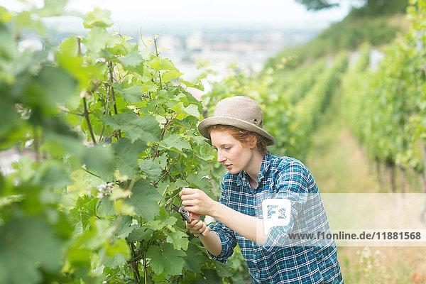 Woman working in vineyard  Baden-Wurttemberg  Germany