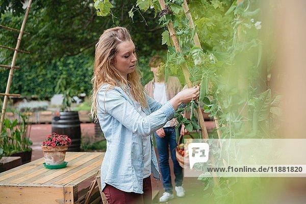 Junge Frau im Stadtgarten  die wachsende Pflanzen um Holzstöcke wickelt