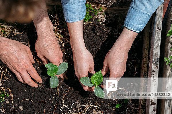 Paar Sämlinge im Boden pflanzen