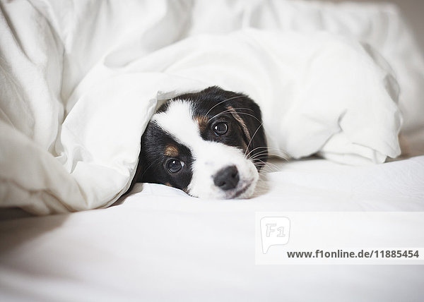 Porträt des Welpen mit Bettdecke auf dem Bett
