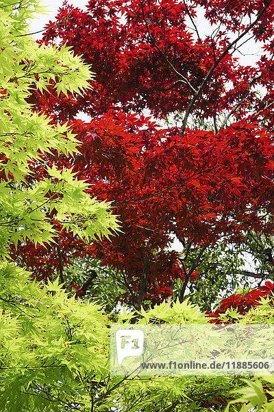 Flachwinkelansicht von Rot- und Grünahorn  Nara  Japan