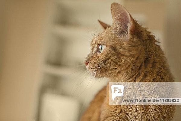 Nahaufnahme einer braunen Katze mit Blick nach Hause Nahaufnahme einer braunen Katze mit Blick nach Hause