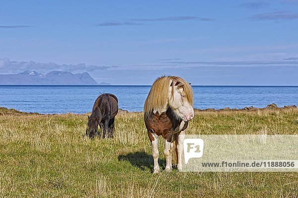 Islandpferde (Equidae)  Norðurland Vestra  Island  Europa