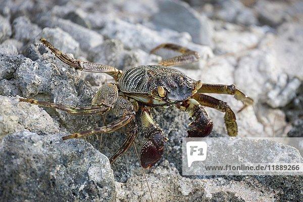 Shore crab (grapsus albolineatus) on rock  Gangehi Island  Ari Atoll  Indian Ocean  Maldives  Asia