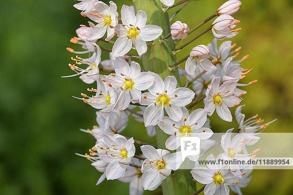 Ackerfuchsschwanzlilie (Eremurus robustus)  Detail des Blütenstandes  Nordrhein-Westfalen  Deutschland  Europa