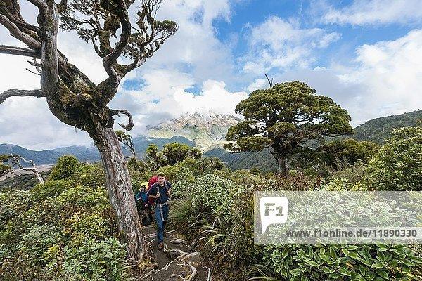Wanderer auf Wanderweg durch Wald  hinten Mount Taranaki  Pouakai Circuit  Egmont Nationalpark  Taranaki  Nordinsel  Neuseeland  Ozeanien Wanderer auf Wanderweg durch Wald, hinten Mount Taranaki, Pouakai Circuit, Egmont Nationalpark, Taranaki, Nordinsel, Neuseeland, Ozeanien