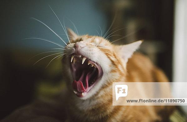 Gähnende Katze Gähnende Katze
