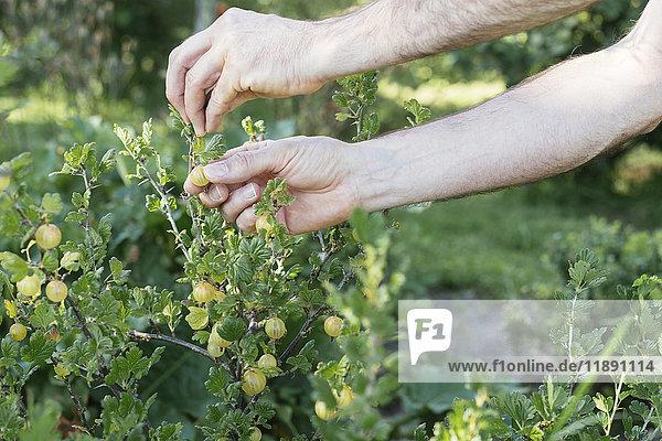 Gärtner bei der Ernte reifer Stachelbeeren Gärtner bei der Ernte reifer Stachelbeeren