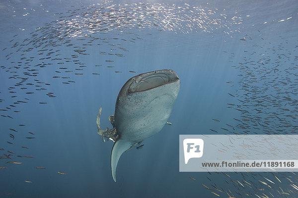 Indonesien  Papua  Cenderawasih Bay  Walhai und Fischschwarm