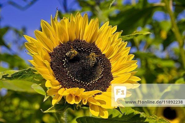 Flowering sunflower (Helianthus annuus)  Bavaria  Germany  Europe