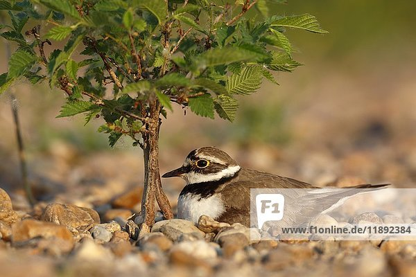 Little ringed plover (Charadrius dubius)  sitting on nest  brooding  biosphere reserve Mittlere Elbe  Saxony-Anhalt  Germany  Europe