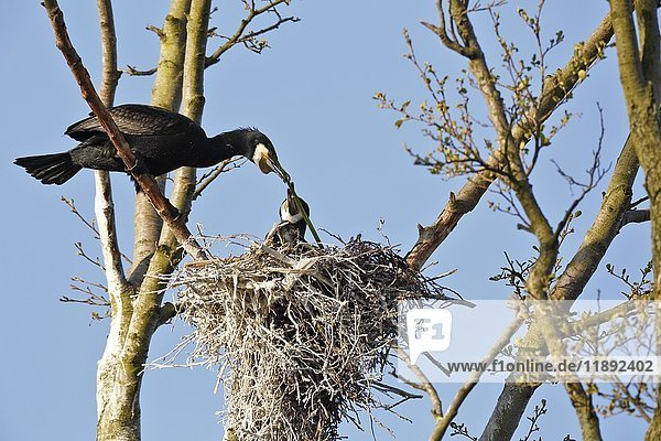 Cormorants (Phalacrocorax carbo)  couple building their nest  nature river area Peenetal  Mecklenburg-Western Pomerania  Germany  Europe