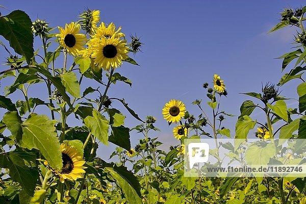 Sonnenblumenfeld  Sonnenblumen (Helianthus annuus)  Bayern  Deutschland  Europa