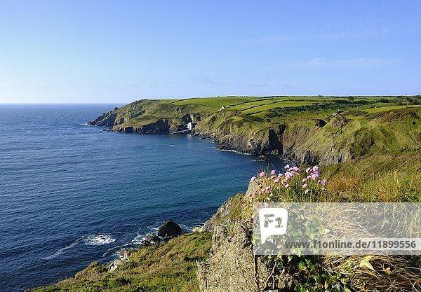 Strand-Grasnelke (Armeria maritima)  Hot Point und Bass Point  Lizard-Halbinsel  Cornwall  England  Großbritannien  Europa