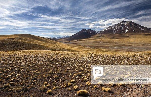 Andenhochebene mit gelben Punagras (Jarava ichu)  Vulkan Miñiques  Höhe 5910m  Blick von Ruta 23  San Pedro de Atacama  Provinz El Loa  Region Antofagasta  Norte Grande de Chile  Chile  Südamerika