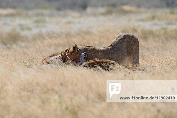 Afrikanische Löwen (Panthera leo)  drei junge Männchen ernähren sich von totem Springbock (Antidorcas marsupialis)  Etosha-Nationalpark  Namibia  Afrika