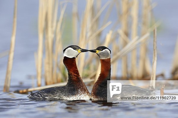 Red-necked grebes (Podiceps grisegena)  couple  courtship  in the water  nature river area Peene Valley  Mecklenburg-Western Pomerania  Germany  Europe