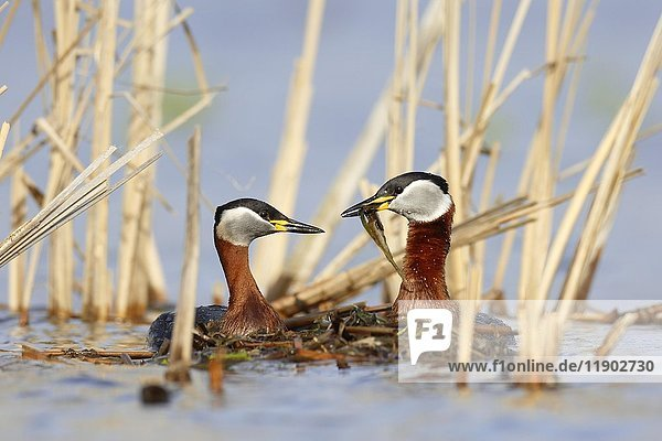 Red-necked grebes (Podiceps grisegena)  couple with nesting material  nature river area Peene Valley  Mecklenburg-Western Pomerania  Germany  Europe