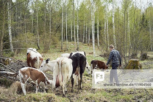 Farmer walking by cattle on field