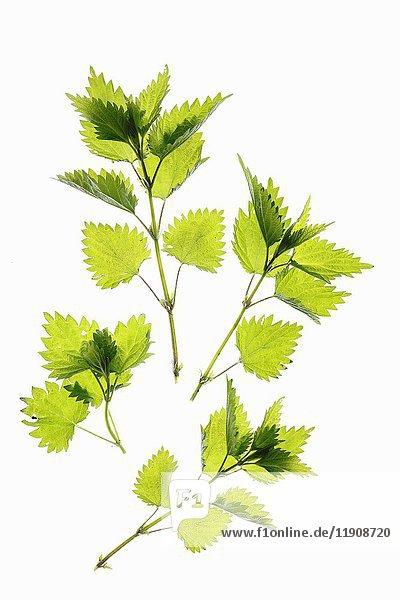 Frische Brennesselblätter