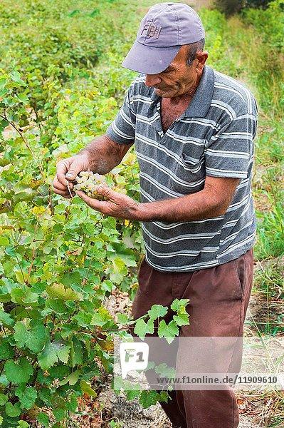 Man harvesting grapes  Ararat province  Editorial Use Only  Armenia.