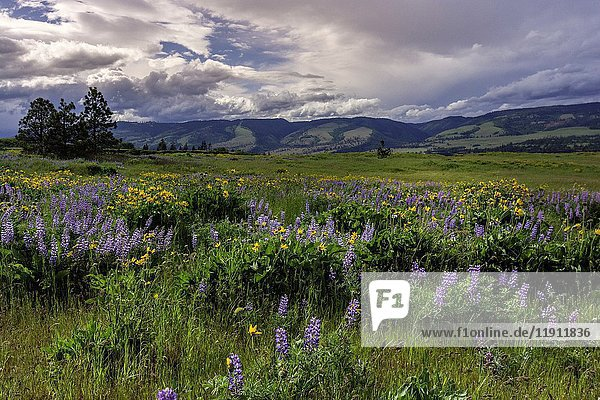 Columbia River Gorge  Oregon  USA  Balsamroot and Lupine wildflowers.