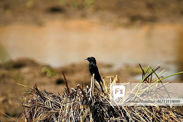 South African Black Flycatcher. Mana Pools national park. Zimbabwe. Africa