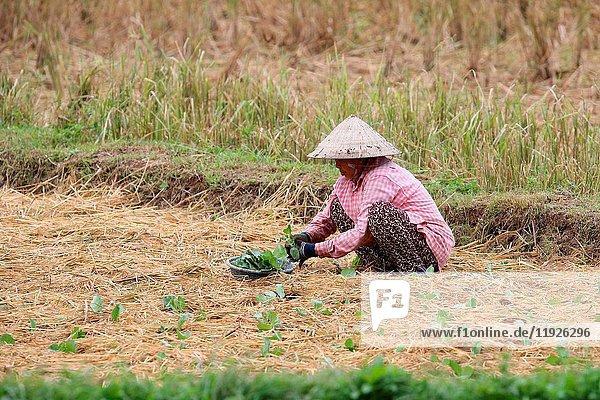 Lao farmer working in rural field.