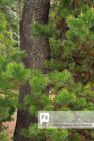Lodegpole pine (Pinus contorta)  Cascade Lakes National Scenic Byway  Deschutes National Forest  Oregon.