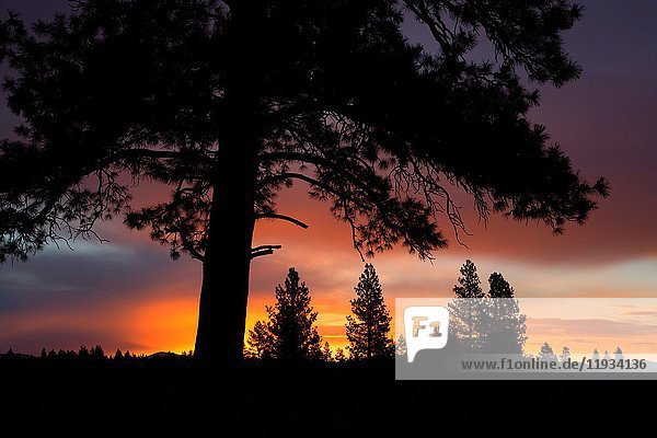 Ponderosa pine sunrise near Cabin Lake  Deschutes National Forest  Oregon.