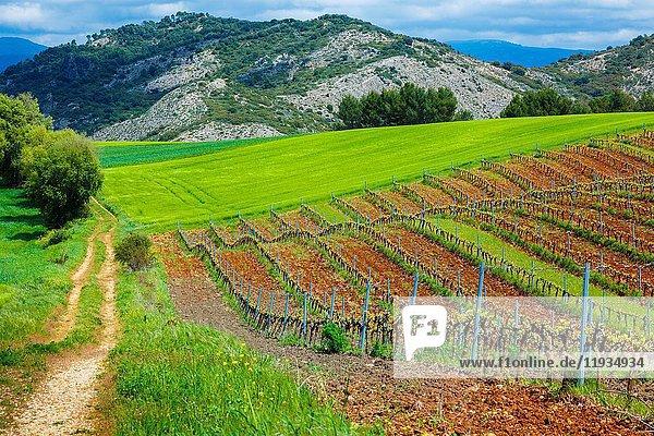 Vineyard. Ayegui  Estella comarca  Navarra  Spain  Europe.