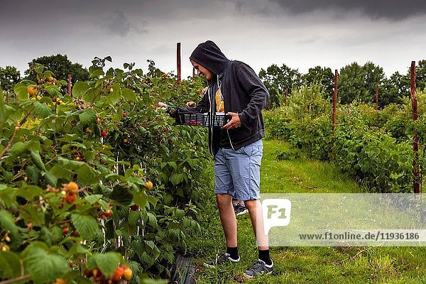 Young People Picking Raspberries On A Farm  East Sussex  UK.