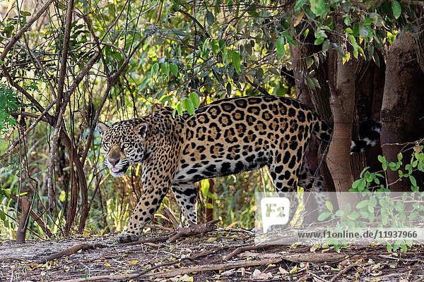 Jaguar (Panthera onca) Pantanal  Brazil.