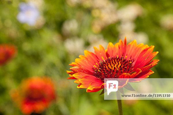 Gartenblume