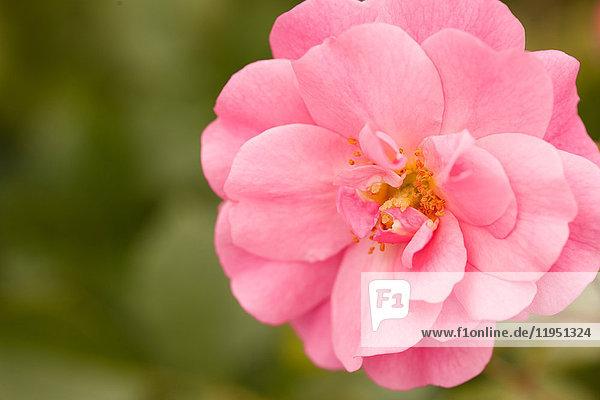 Rosafarbene Heckenrose