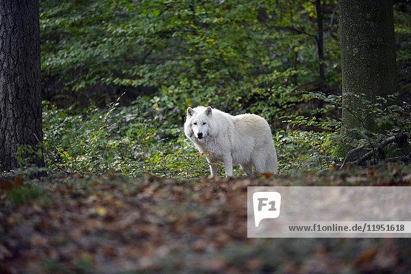 Polarwolf im Wolfsgehege