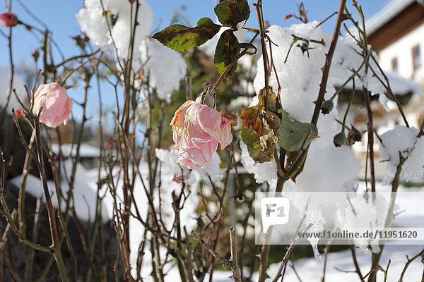 Verwelkte Rosen im Schnee