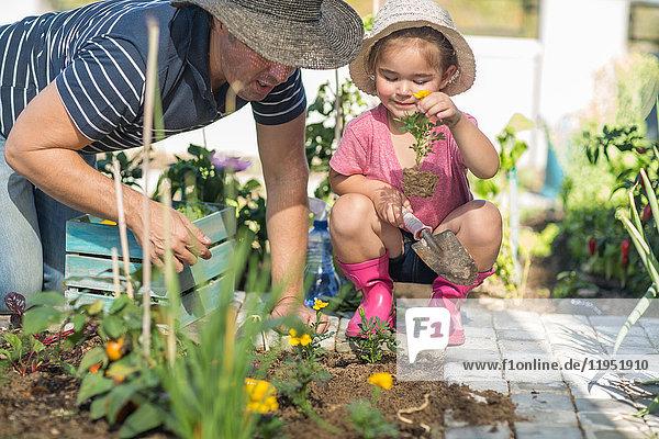 Vater und Tochter gemeinsam im Garten und pflanzen Blumen