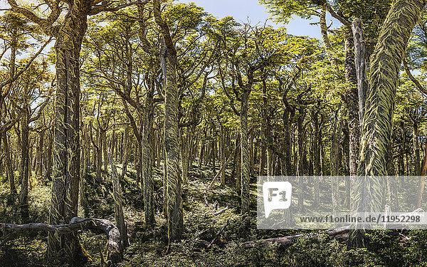 Bartflechte  die Baumstämme im Wald bedeckt  Nationalreservat Coyhaique  Provinz Coyhaique  Chile